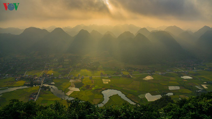 bac son rice fields turn yellow amid harvest season hinh 13