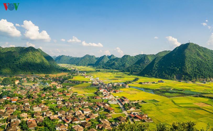 bac son rice fields turn yellow amid harvest season hinh 14