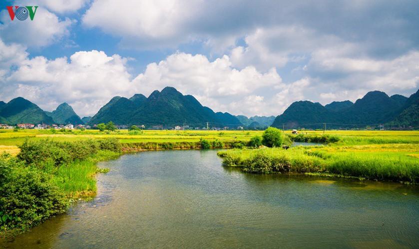 bac son rice fields turn yellow amid harvest season hinh 16