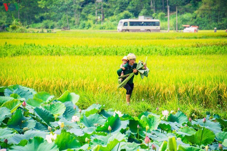 bac son rice fields turn yellow amid harvest season hinh 17