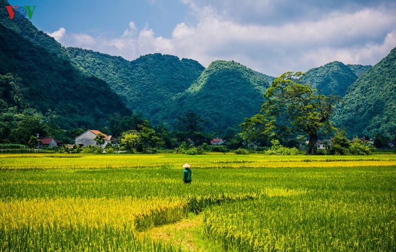 bac son rice fields turn yellow amid harvest season hinh 18