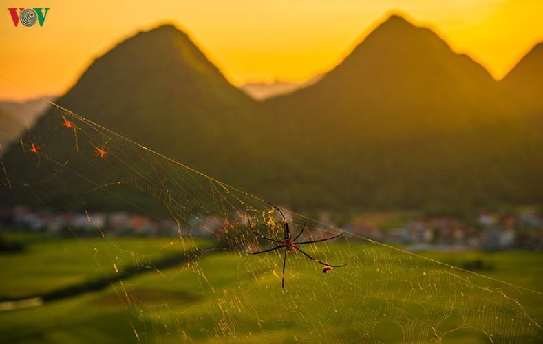 bac son rice fields turn yellow amid harvest season hinh 19