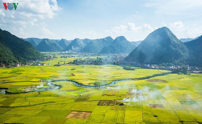 bac son rice fields turn yellow amid harvest season hinh 1