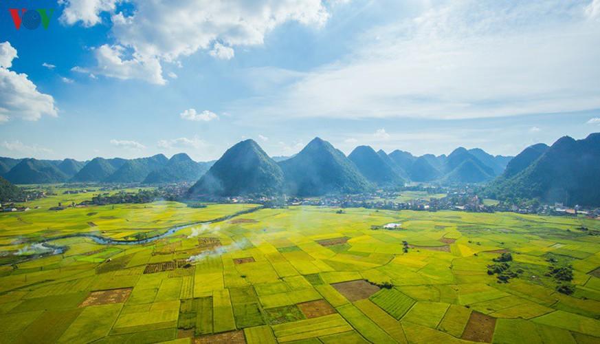bac son rice fields turn yellow amid harvest season hinh 2