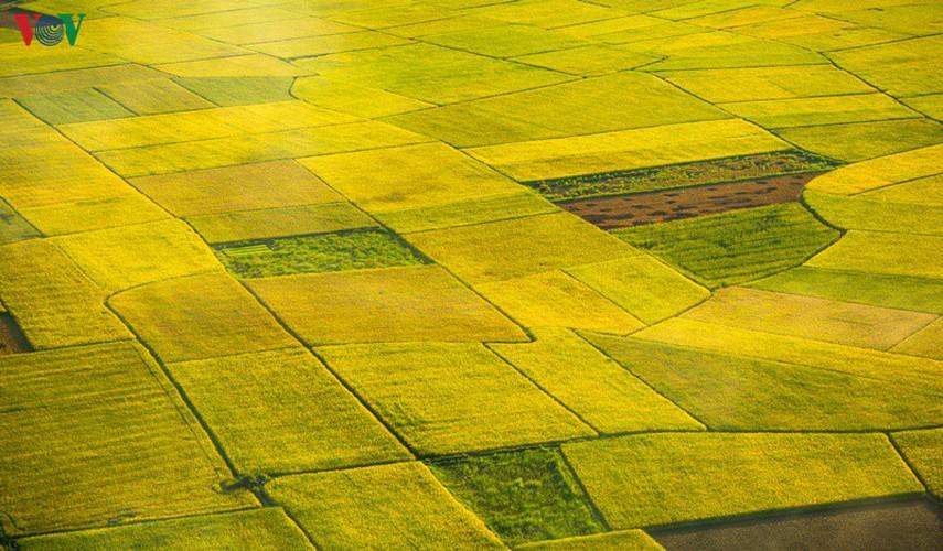 bac son rice fields turn yellow amid harvest season hinh 4