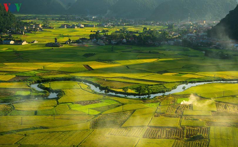 bac son rice fields turn yellow amid harvest season hinh 5