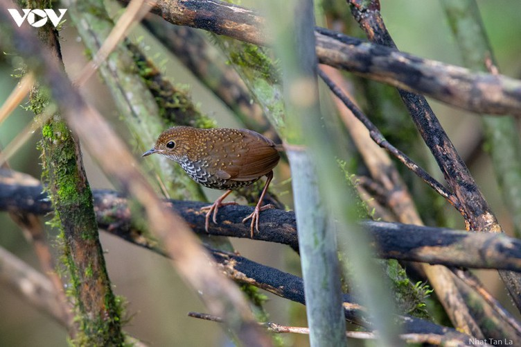 a close look at rare bird species in hoang lien national park hinh 8