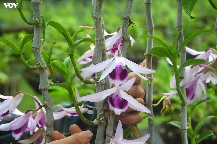 rare transgenic orchids in close-up in hanoi hinh 2