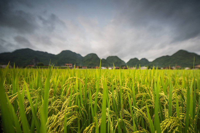 discovering stunning ripening paddy fields of bac son valley hinh 4