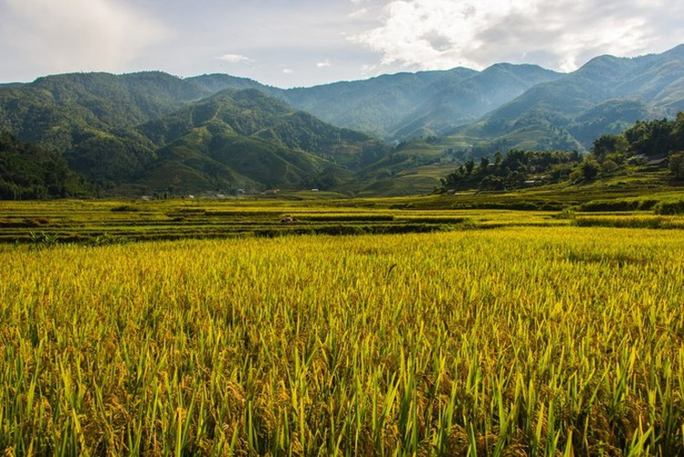 top spots to enjoy ripening rice fields in north-western region hinh 1