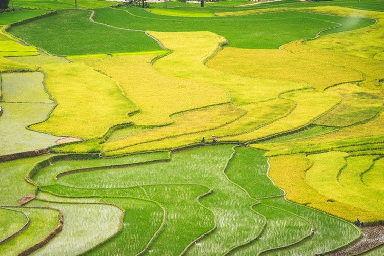top spots to enjoy ripening rice fields in north-western region hinh 4