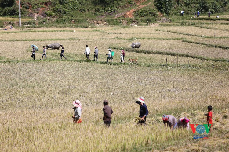 exploring golden paddy fields of yen bai hinh 13