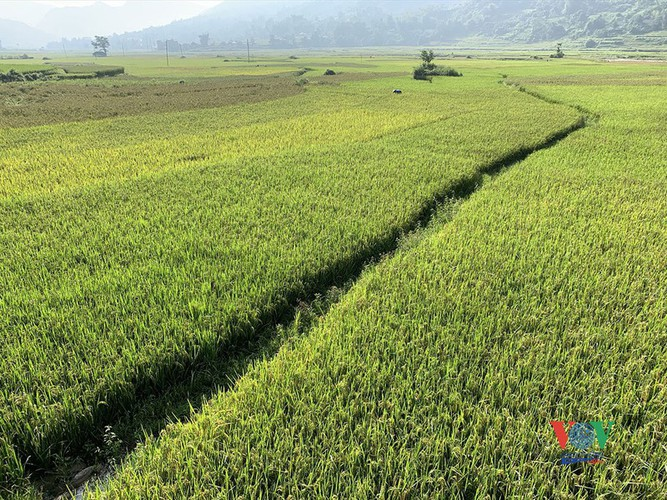 exploring golden paddy fields of yen bai hinh 2