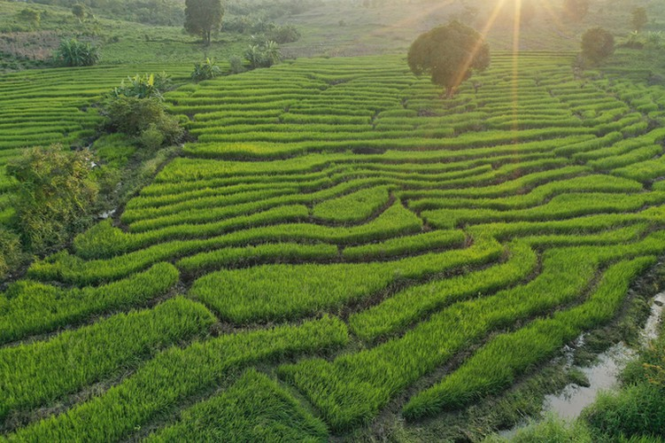 discovering terraced fields of chu se from height hinh 2