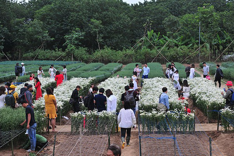 young people flock to witness ox-eye daisy gardens in hanoi hinh 1