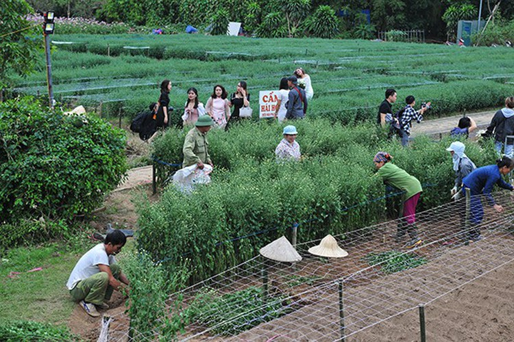 young people flock to witness ox-eye daisy gardens in hanoi hinh 9
