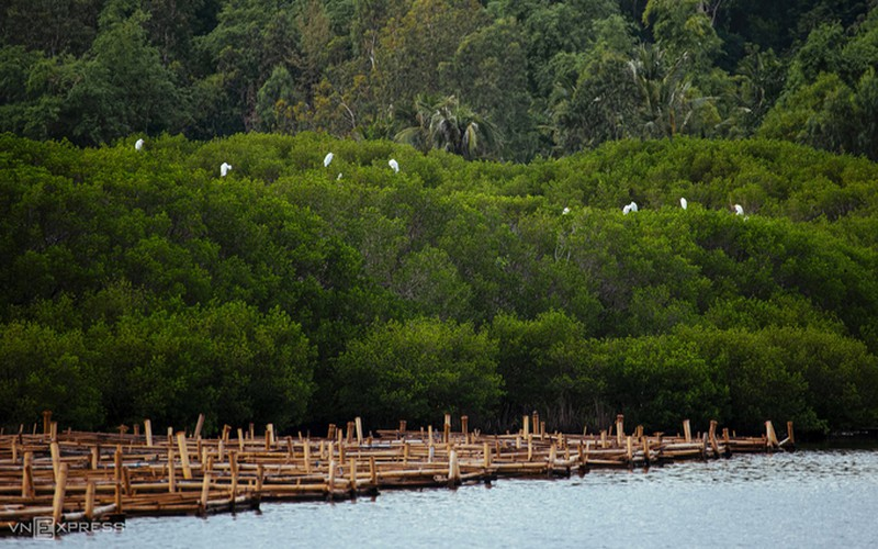 discovering bau ca cai mangrove forest in quang ngai hinh 6