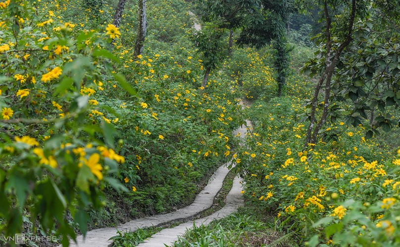 exploring wild sunflowers in bloom in ba vi national park hinh 2