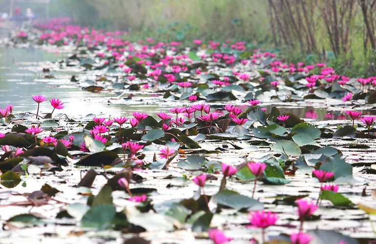 discovering stunning water lilies of yen stream hinh 2