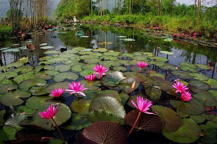 discovering stunning water lilies of yen stream hinh 7