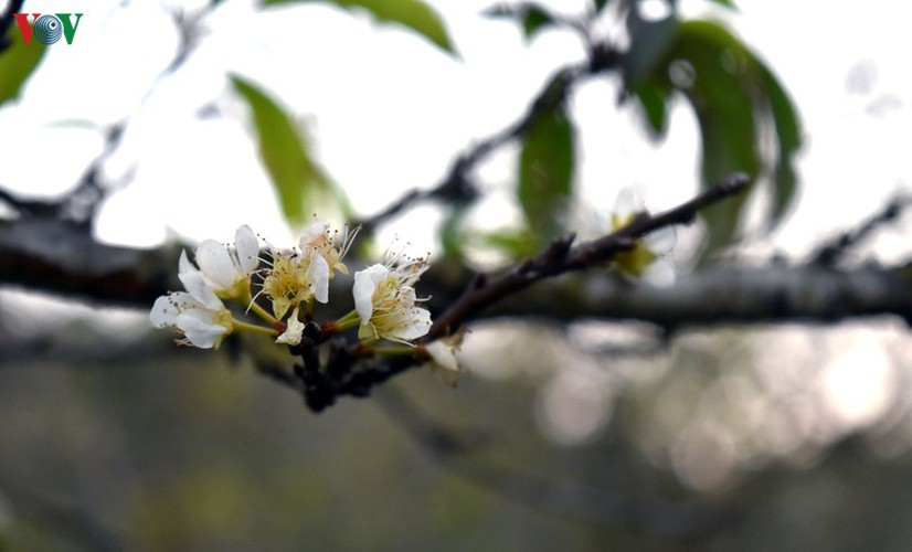 first appearance of plum blossoms signals early spring in moc chau hinh 10