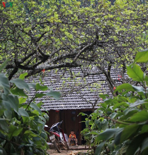 first appearance of plum blossoms signals early spring in moc chau hinh 6
