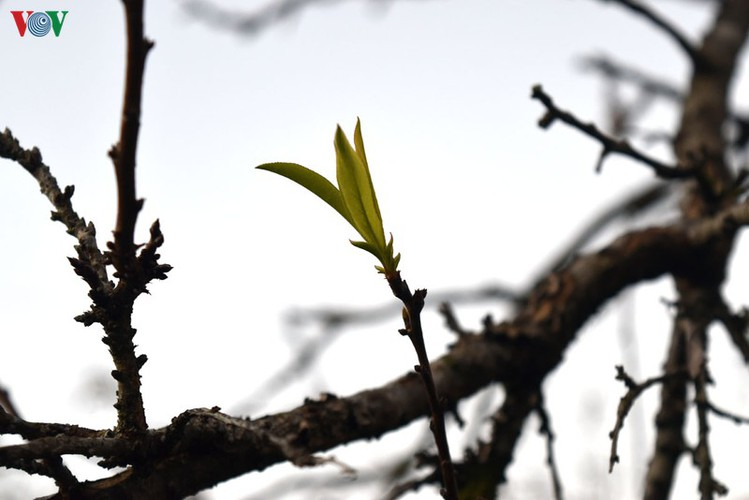 first appearance of plum blossoms signals early spring in moc chau hinh 8