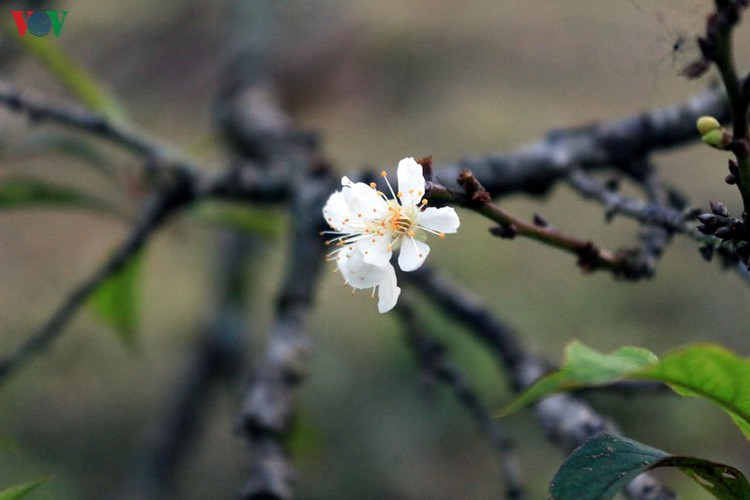 first appearance of plum blossoms signals early spring in moc chau hinh 9