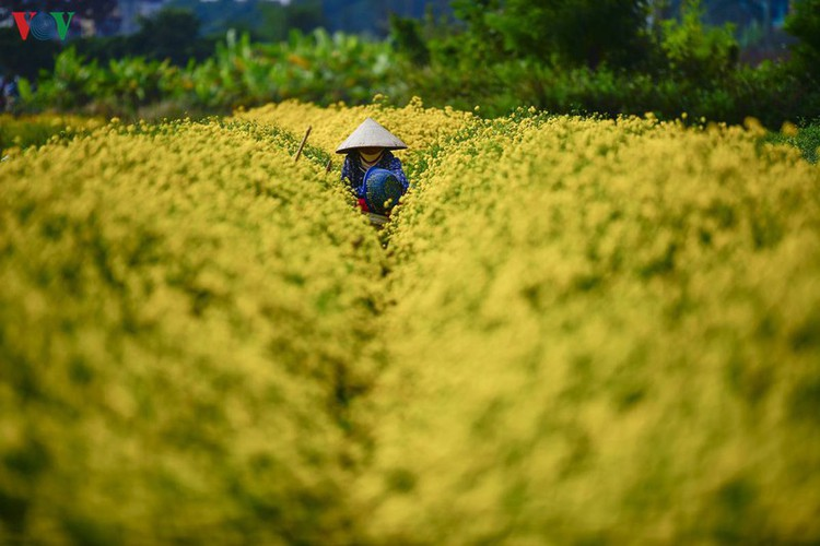 exploring vibrant chrysanthemum flower fields close to hanoi hinh 2