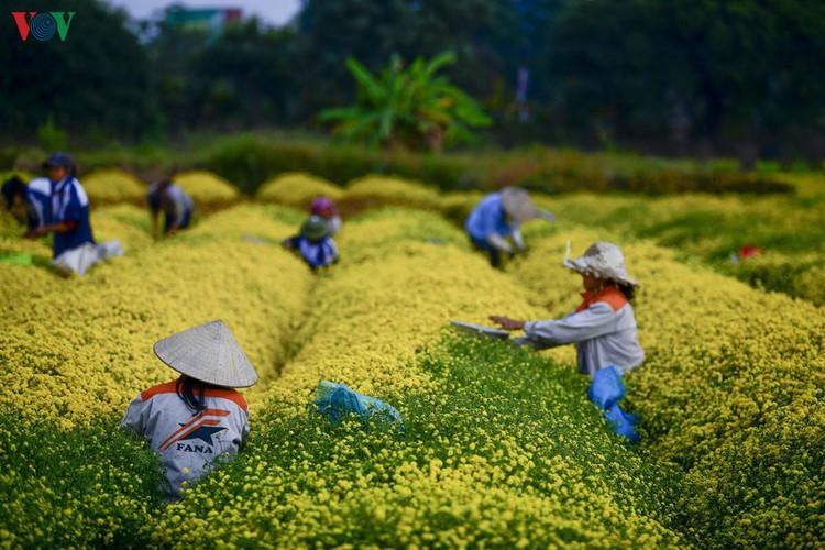 exploring vibrant chrysanthemum flower fields close to hanoi hinh 3