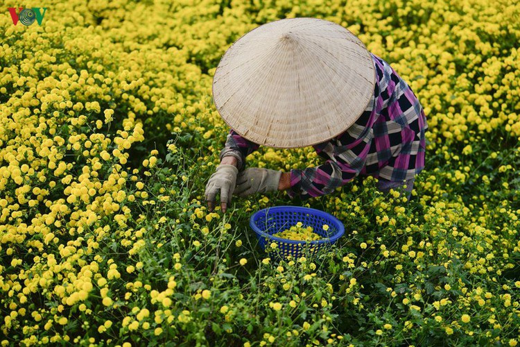 exploring vibrant chrysanthemum flower fields close to hanoi hinh 4