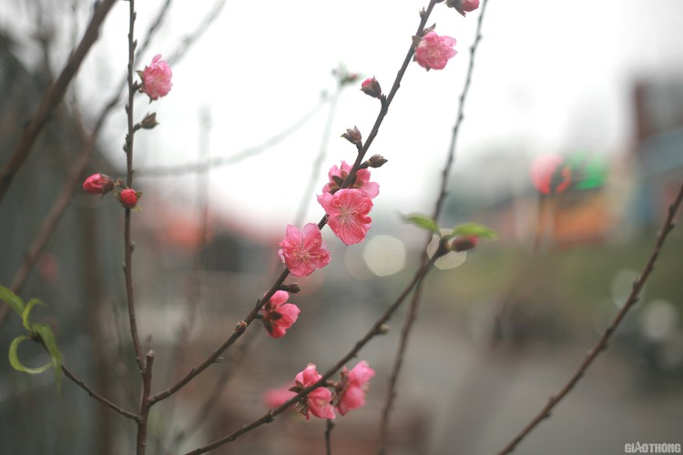 nhat tan peach blossoms signal first signs of tet in hanoi hinh 6
