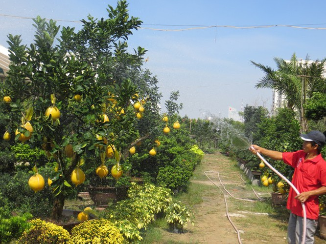 dien grapefruit in ho chi minh city sees price rise ahead of tet hinh 12