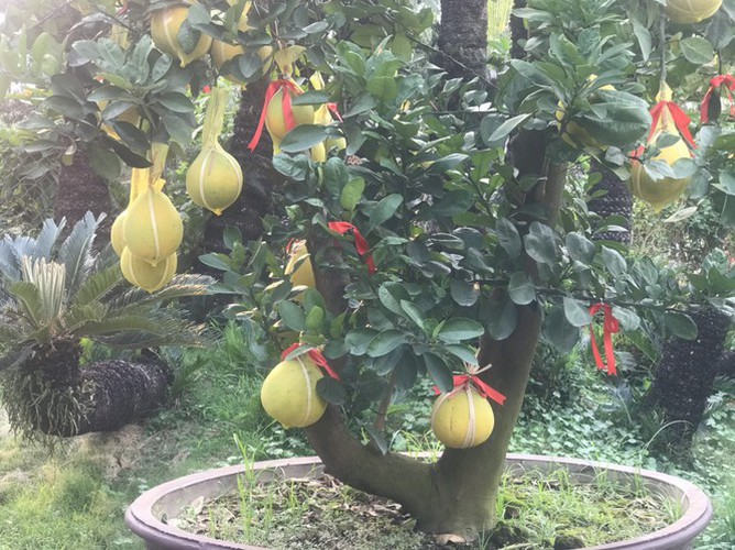 dien grapefruit in ho chi minh city sees price rise ahead of tet hinh 5