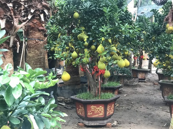 dien grapefruit in ho chi minh city sees price rise ahead of tet hinh 7