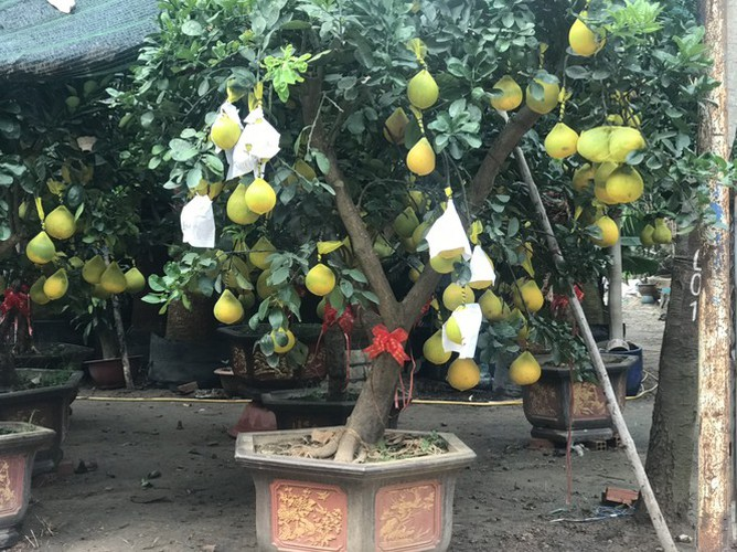 dien grapefruit in ho chi minh city sees price rise ahead of tet hinh 8