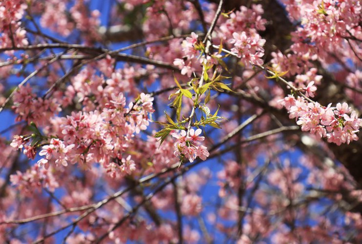 cherry blossoms in full bloom brighten the streets of da lat city hinh 1