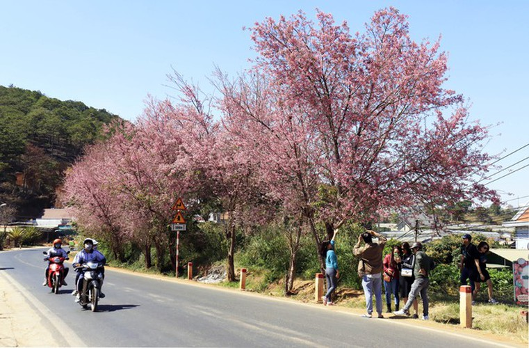 cherry blossoms in full bloom brighten the streets of da lat city hinh 2