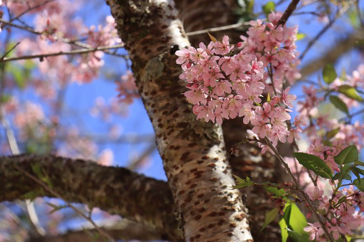 cherry blossoms in full bloom brighten the streets of da lat city hinh 4