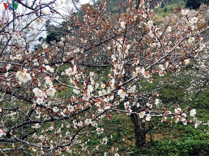 exploring pristine beauty of apricot blossoms in moc chau hinh 10