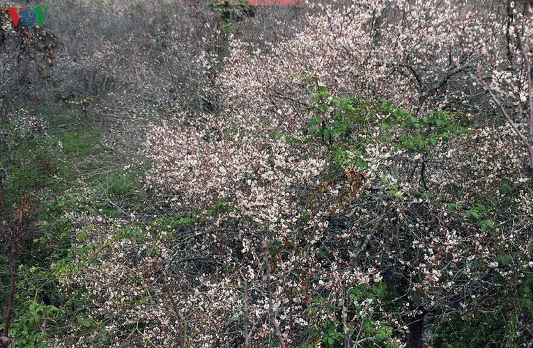 exploring pristine beauty of apricot blossoms in moc chau hinh 1