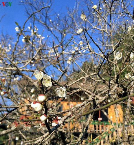 exploring pristine beauty of apricot blossoms in moc chau hinh 2