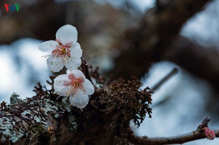 exploring pristine beauty of apricot blossoms in moc chau hinh 3