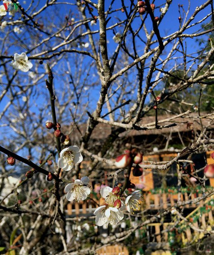 exploring pristine beauty of apricot blossoms in moc chau hinh 4
