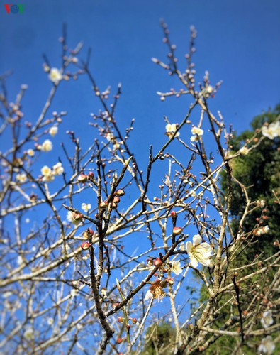 exploring pristine beauty of apricot blossoms in moc chau hinh 5