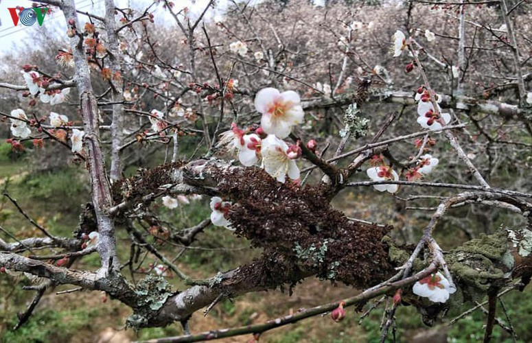 exploring pristine beauty of apricot blossoms in moc chau hinh 7