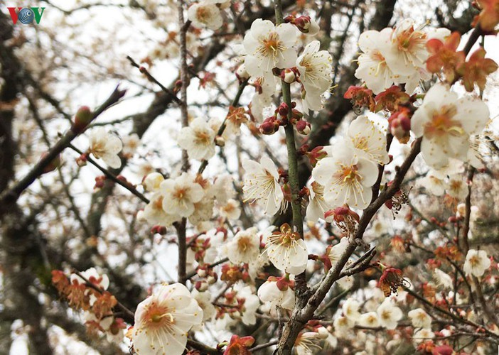 exploring pristine beauty of apricot blossoms in moc chau hinh 8