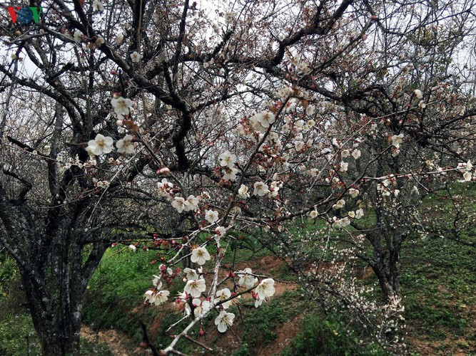 exploring pristine beauty of apricot blossoms in moc chau hinh 9