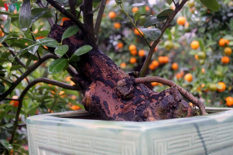 bonsai kumquat trees of tu lien village attracts customers hinh 11