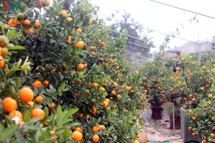 bonsai kumquat trees of tu lien village attracts customers hinh 1